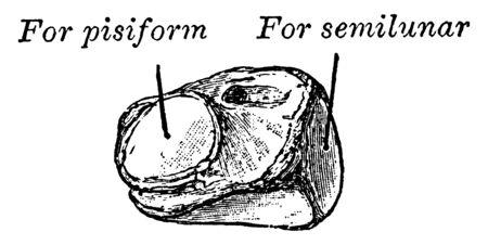 This illustration represents Cuneiform Bone, vintage line drawing or engraving illustration.