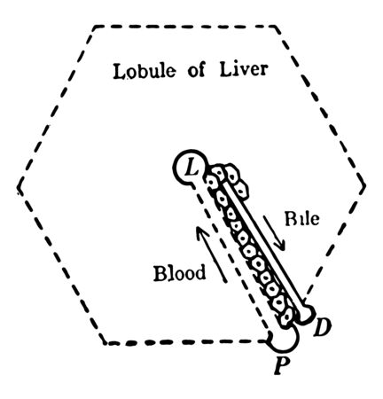 This illustration represents Liver Structure, vintage line drawing or engraving illustration.