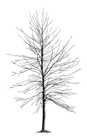 This illustration represents Silver Maple Not Pruned Since Setting Out, vintage line drawing or engraving illustration. Illustration