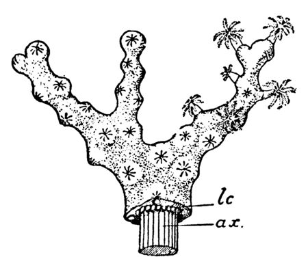 Colony of Collarium Rubrum in which lower part of the figure the cortex has been cut away, vintage line drawing or engraving illustration. 向量圖像