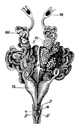 Urinogenital organs of the female, vintage line drawing or engraving illustration. Illustration