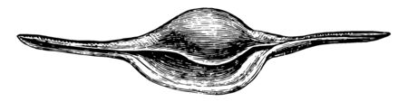 Shuttle Shell is a gastropod of the family Ovulidae and genus Radius, vintage line drawing or engraving illustration.