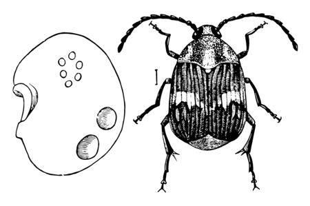 Lentil Weevil in which holes made by beetle in egress, vintage line drawing or engraving illustration. Vectores