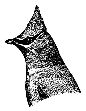 Cedar Waxwing is a member of the family Bombycillidae or waxwing family of passerine birds, vintage line drawing or engraving illustration. Çizim