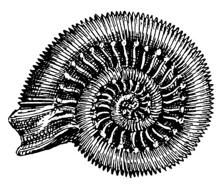 Snakestone Ammonite from an old popular notion that these shells were coiled snakes petrified, vintage line drawing or engraving illustration.