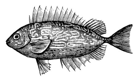 Spiny Rabbitfish is a perciform fish in the Siganidae family of spinefoots, vintage line drawing or engraving illustration. 일러스트