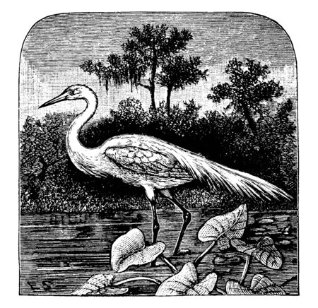 Great Egret is a large wading bird of the Ardeidae family of herons, vintage line drawing or engraving illustration.  イラスト・ベクター素材