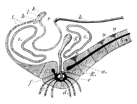 Illustration shows vertical section through disc and base of one of the arms of Antedon rosacea. This section is inter-radial on the left, radial on the right, vintage line drawing or engraving illustration. Illustration