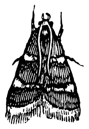 Clover Hay Moth is a small attractive moth that is fairly common in the eastern two thirds, vintage line drawing or engraving illustration.