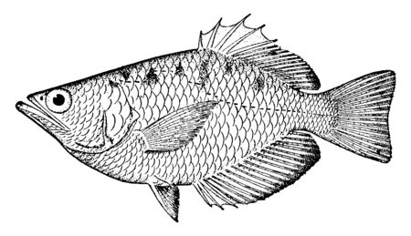 Archerfish which is form a monotypic family, vintage line drawing or engraving illustration.