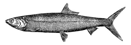 Ladyfish is a species of ray finned fish in the Elopidae family, vintage line drawing or engraving illustration. Standard-Bild - 132982113