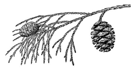 A photo of pine leaves with two pine cones hanging on it, vintage line drawing or engraving illustration.