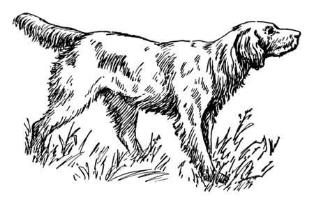 This is a dog of a large long-haired breed trained to stand rigid when scenting game. A hunting dog including three breeds: English, Gordon, and Irish, vintage line drawing or engraving illustration.