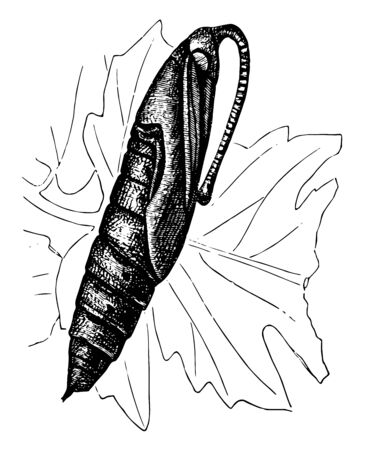 Moth Pupa stage of the horn worm, vintage line drawing or engraving illustration.