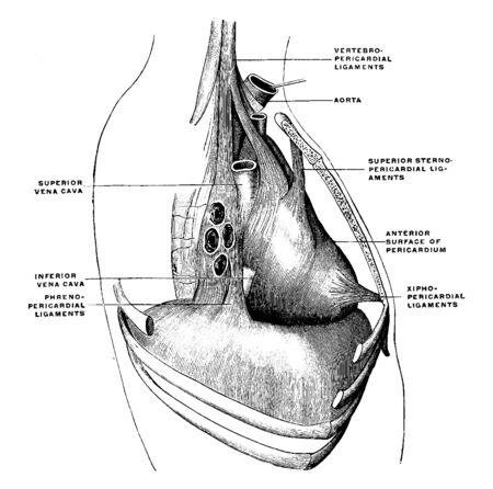 This diagram represents Pericardium Ligaments, vintage line drawing or engraving illustration. Reklamní fotografie - 133404621