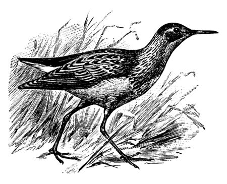 Pectoral Sandpiper is a small wading bird of the Scolopacidae family, vintage line drawing or engraving illustration.