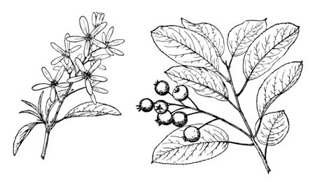 In this image the branch of an Amelanchier are obovalis tree, vintage line drawing or engraving illustration.