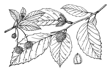 A branch with leaves and fruits. Fruits are small in size, sharply angled in a soft spined layer, vintage line drawing or engraving illustration.