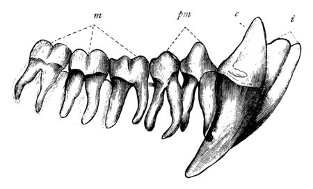 Chimpanzee Teeth have 32 teeth which are very similar to those of Humans to help them to not just grind up plant matter but their longer canines, vintage line drawing or engraving illustration. 일러스트