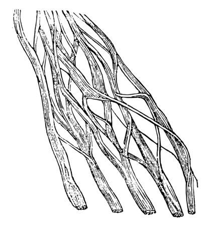 This illustration represents Nerve Portion, vintage line drawing or engraving illustration.