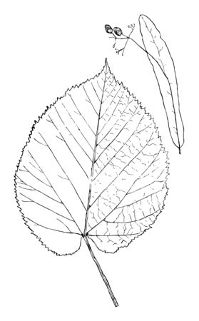 Leaf usually about three to four inches wide, four to five inches long sometimes much larger rather thick, very smooth & shining above with small tufts of reddish hairs in the angles of the ribs below, vintage line drawing or engraving illustration.