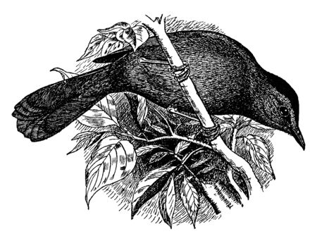 Gray Catbird is the only member of New World catbird genus Dumetella, vintage line drawing or engraving illustration.