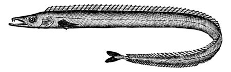Scabbard Fish is a bathypelagic cutlassfish of the family, vintage line drawing or engraving illustration. Illustration