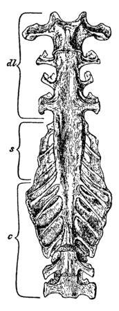 Fowl Sacrum natural size seen from below, vintage line drawing or engraving illustration. Standard-Bild - 132982016