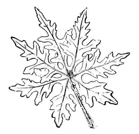 Leaf of Ipomoea Sinuata, genus of about 500 mostly warm-climate trees, shrubs, and twining and trailing herbaceous plants of the family Convolvulaceae with funnel-shaped flowers, vintage line drawing or engraving illustration. Иллюстрация