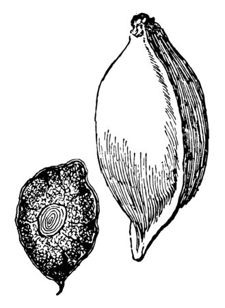A picture of fruit which has shape similar to almond. Terminalia Catappa is called as wild almond, vintage line drawing or engraving illustration. 일러스트