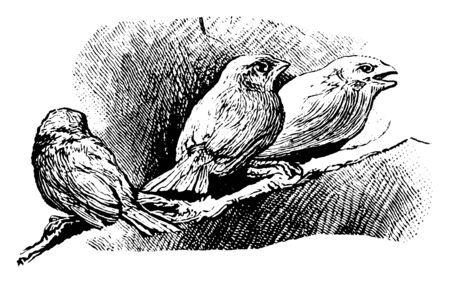 Three Birds sitting on the branch, vintage line drawing or engraving illustration. Standard-Bild - 132982082