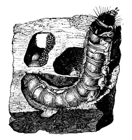 Larva of Goat Moth is destructive to timber and fruit trees, vintage line drawing or engraving illustration.