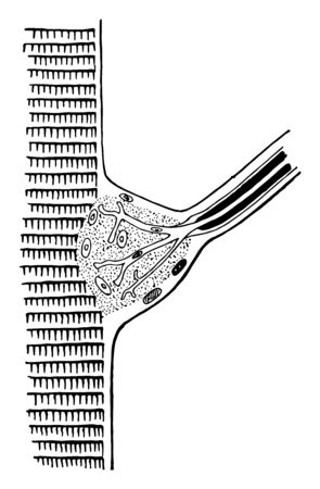 This illustration represents Termination of a Nerve in a Fiber of Cross Striped Muscle, vintage line drawing or engraving illustration.