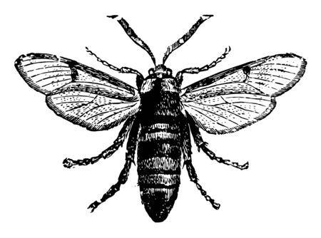 Clear Wing Moth are larvae they live in burrows, vintage line drawing or engraving illustration. Standard-Bild - 132981913