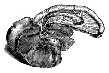 Digestive Organs of a Dog where digestion are produced by the liver and pancreas and pass through these ducts to mix with the food in the duodenum, vintage line drawing or engraving illustration. Ilustracja