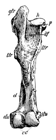 Posterior View of Left Femur of Horse have external and internal tuberosities, vintage line drawing or engraving illustration. Illustration