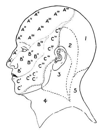 This illustration represents Nerve Areas of the Face and Scalp, vintage line drawing or engraving illustration. Illustration