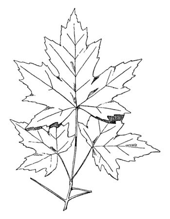 Spray of Sugar Maple designs were often used on friezes, vintage line drawing or engraving illustration.
