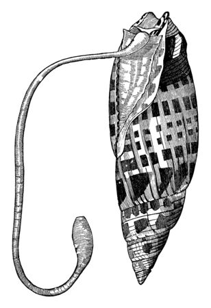 Bishop mitre shell for a very long proboscis, vintage line drawing or engraving illustration.