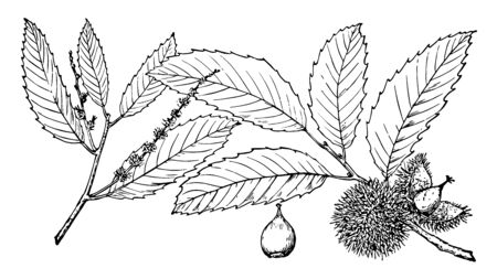 There are Castanea Puma leaves in this frame. The limbs are strawberry flowers and thorny fruit are also there, vintage line drawing or engraving illustration. Illustration