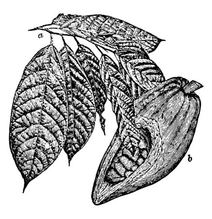 In this frame, the fruit of cocoa leaf leaves and cocoa has been chopped half of the fruit is shown in cocoa seeds, vintage line drawing or engraving illustration.
