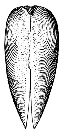 Dorsal View of Gastrochaena where the ventral view shows the dried mantle with pedal perforation, vintage line drawing or engraving illustration.