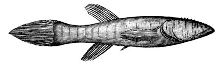 Blindfish of the Mammoth Cave of Kentucky, vintage line drawing or engraving illustration.