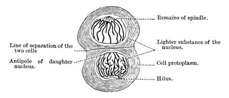 Stages of the Cell Cycle. Karyokinesis (or mitosis) is divided into five stages, vintage line drawing or engraving illustration.