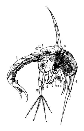 This image represents Shore Crab Zoaea, vintage line drawing or engraving illustration. Reklamní fotografie - 133404662