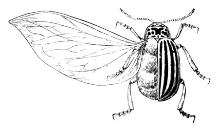 Enlarged Potato Beetle which is also known as Doryphora decemlineata, vintage line drawing or engraving illustration. Foto de archivo - 132981425