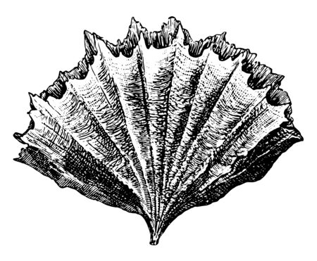 Stony Coral in the suborder Caryophylliina, vintage line drawing or engraving illustration.