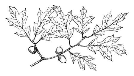 This is a branch of Georgia Oak. The fruit & leaf are there. This is mostly found in southeastern United States, vintage line drawing or engraving illustration.