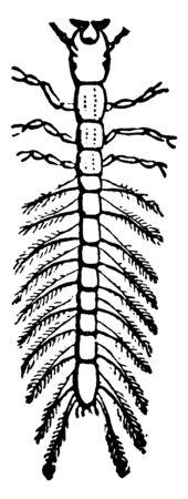 Whirligig Beetle Larva is a family of water beetles, vintage line drawing or engraving illustration. Standard-Bild - 132982069