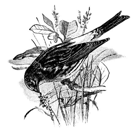 Serin Finch is a small passerine bird in the Fringillidae family of finches, vintage line drawing or engraving illustration. Standard-Bild - 132982036